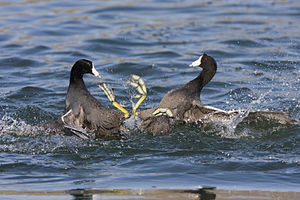Two American Coots (Fulica americana) fighting