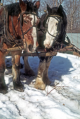 Horse Team Collecting Maple Sap in March 1975